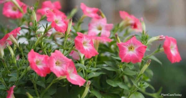 Blooming Wave Petunias