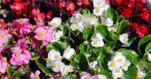 wax begonias in assorted colors - pink, white, red