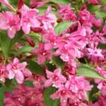 Growing Weigela:  How To Care For Weigela Planting, Selecting, Pruning
