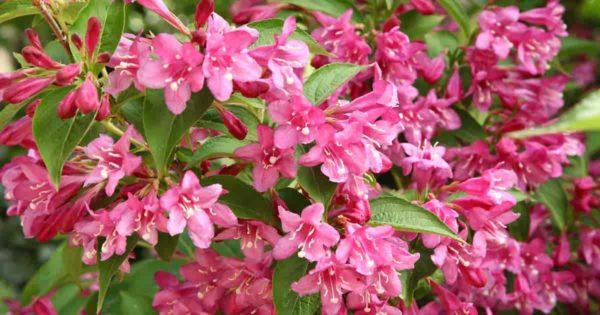 blooming weigela plant