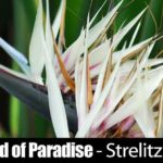 White Bird of Paradise – Strelitzia Nicolai