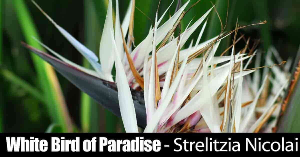 White bird of paradise strelitzia nicolai it is commonly known as the white bird of paradise tree has grown in popularity for indoor use over the last 30 years mightylinksfo