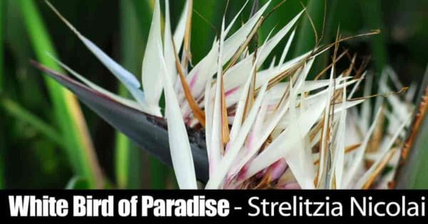 flowers of the white bird of paradise