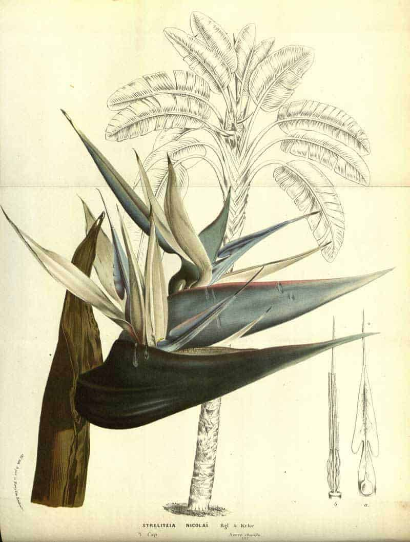 Strelitzia nicolai Regel & K. Koch illustration
