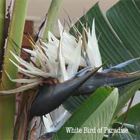 White Bird Of Paradise Strelitzia Nicolai