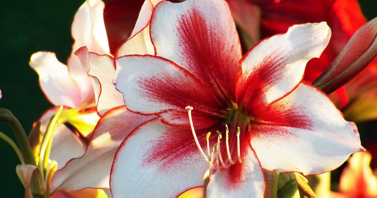 white-red-lilies-11302015