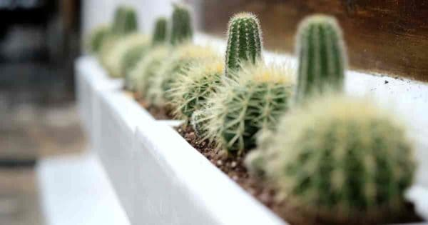 cactus plants growing in a windowsil