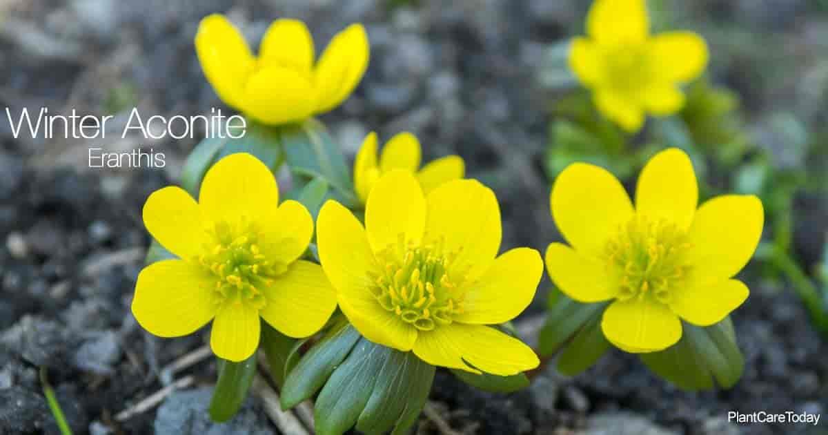 Flowering winter aconite (Eranthis)