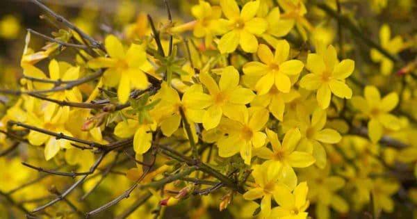 Yellow blooms of Winter Jasmine (Jasminum Nudiflorum)