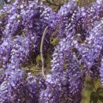 Growing Wisteria Vines: Tips On Wisteria Vine Plant Care