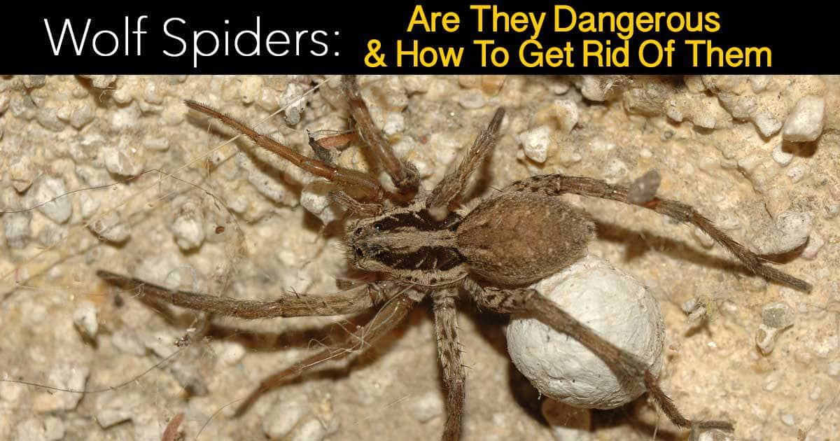 Wolf Spiders Are They Dangerous And How To Get Rid Of Them