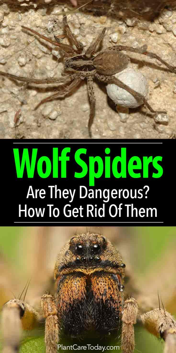 Wolf Spider Are Wolf Spiders Dangerous How To Get Rid Of Them