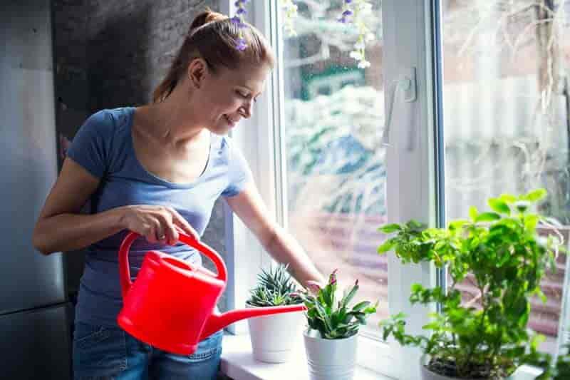 Mujer regando plantas domésticas - Cactus de Navidad