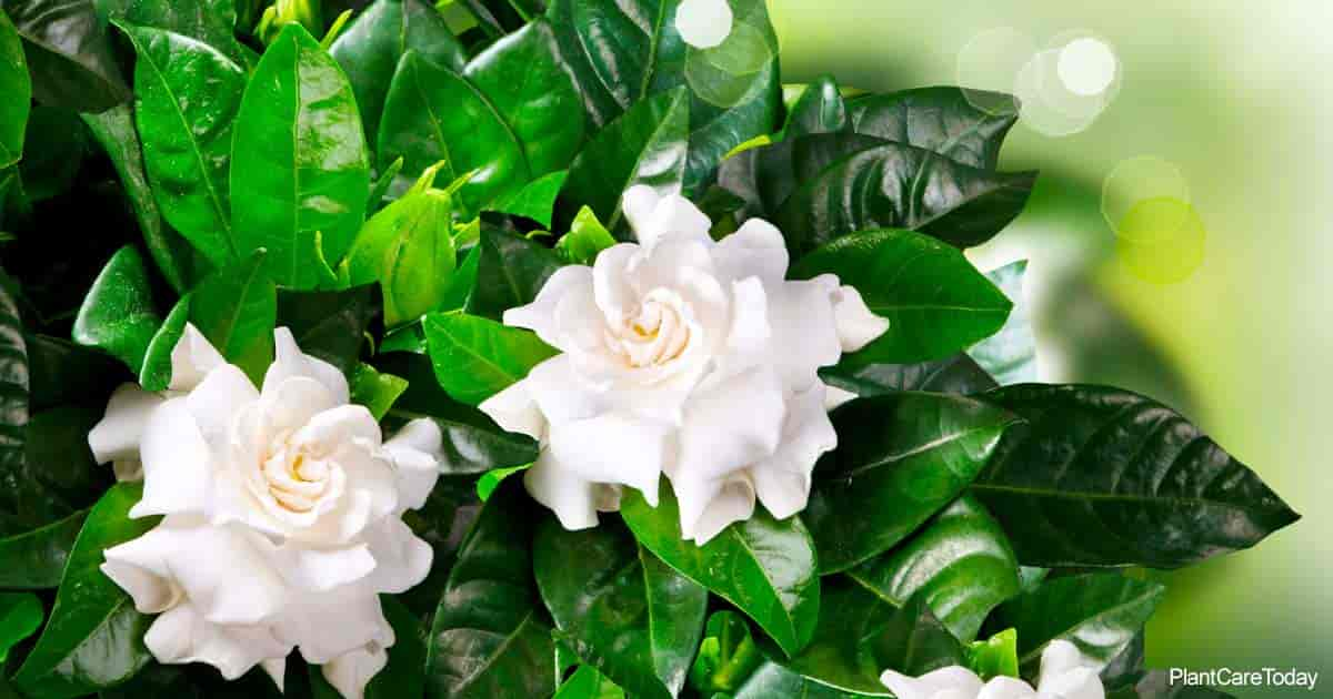 white blooms of the fragrant Gardenia plant