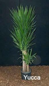 yucca-10-inch