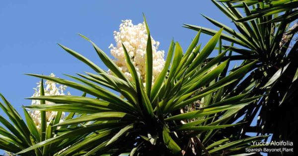 Flowering Spanish bayonet Aloifilia Yucca