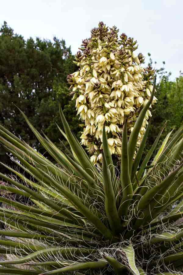 Banana Yucca in Flower
