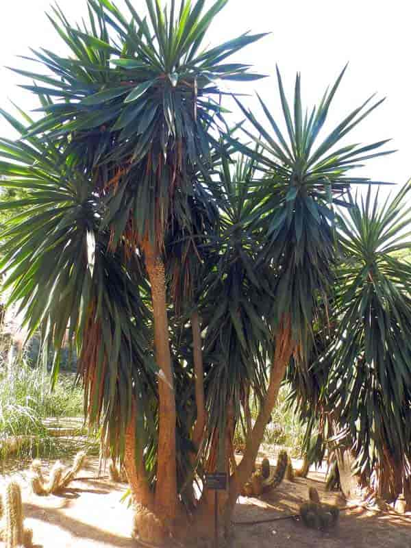Yucca elephantipes growing at Jardins de Cap Roig April, 2015