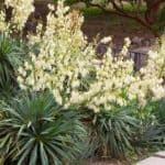 flowering Adams needle yucca plants