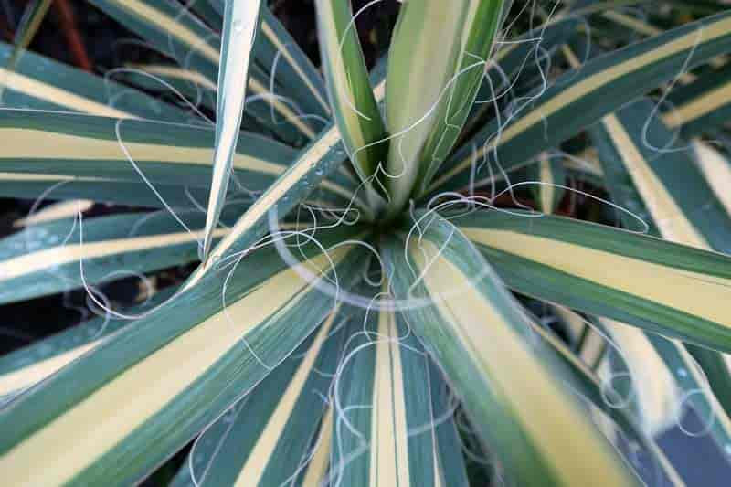 Variegated leaves of Yucca filamentosa 'Color Guard', New York Botanical Garden