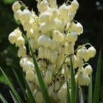 Yucca Flower: Blooming Conditions|Smell| Edible|After Bloom