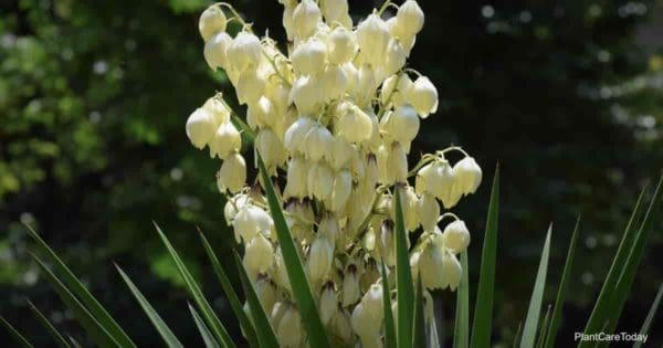 white yucca flowers