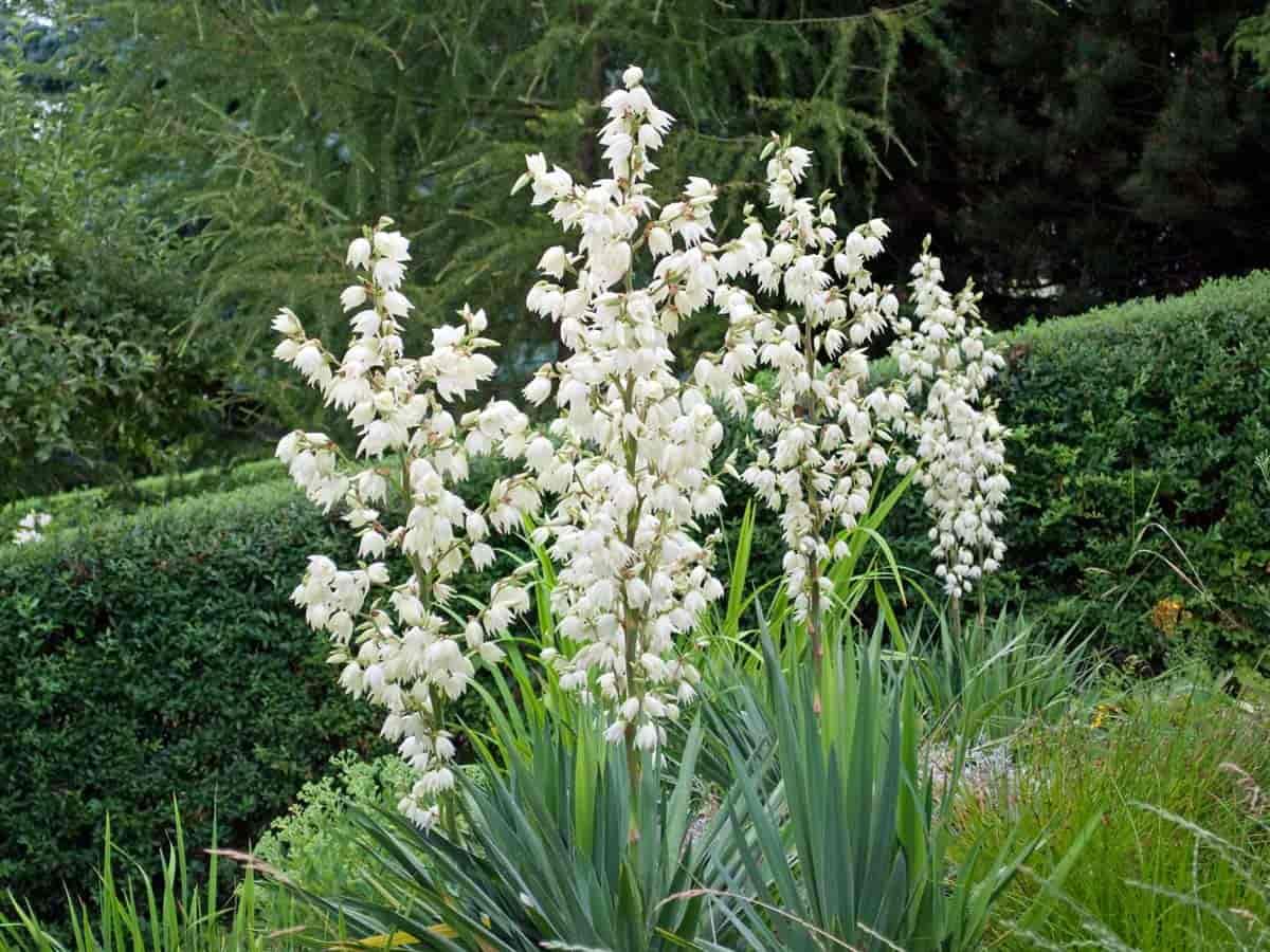 flowering yucca gloriosa