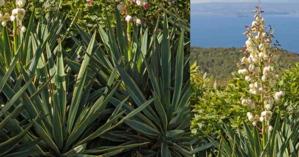 Gloriosa Yucca (spanish dagger) in flower