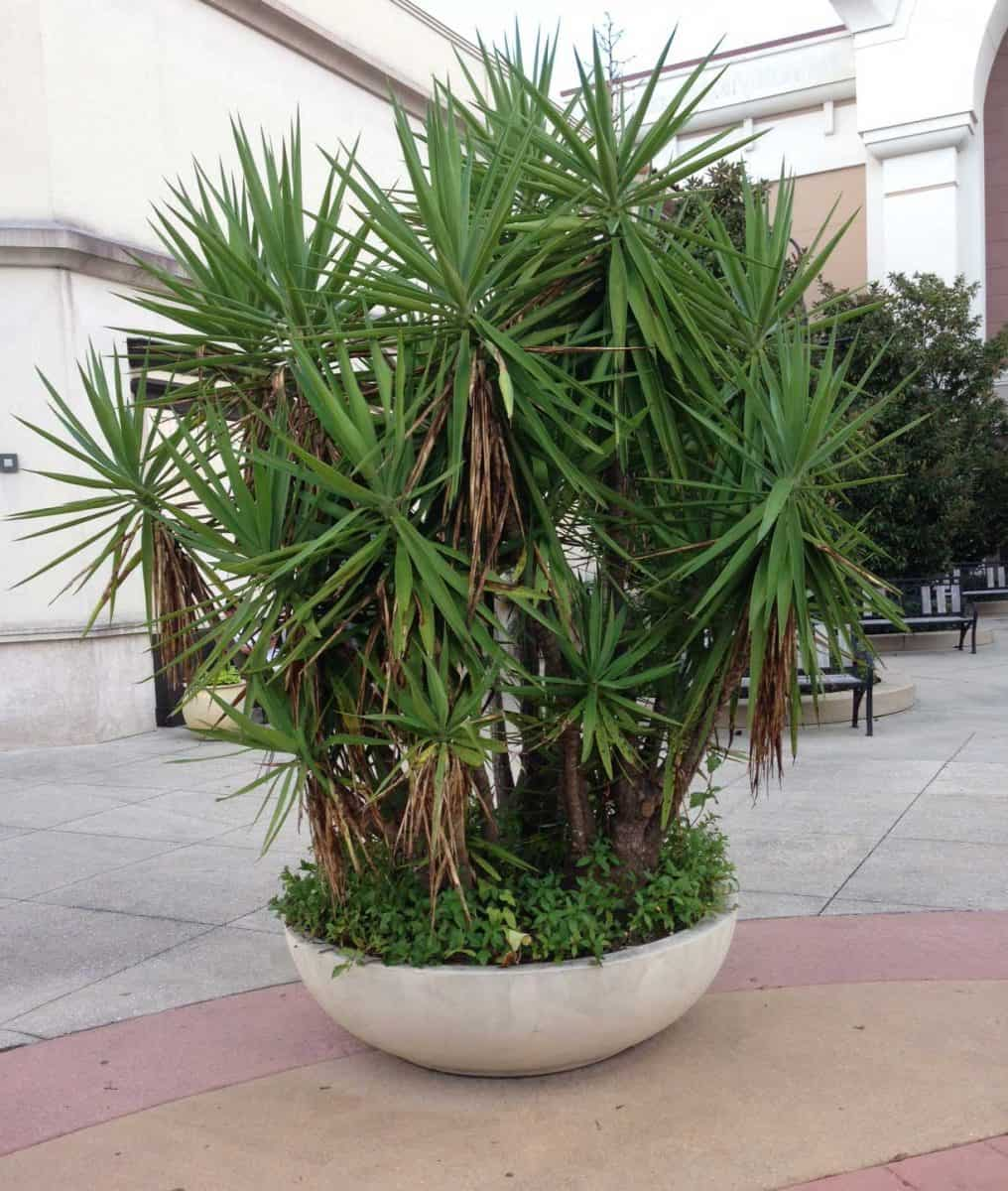 growing yucca plants care in the home and garden. Black Bedroom Furniture Sets. Home Design Ideas