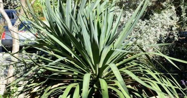 CurveLeaf Yucca