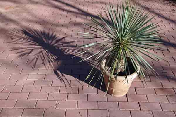 potted Beaked Yucca