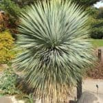 Yucca Rostrata Care: Growing The Blue Beaked Yucca Plant