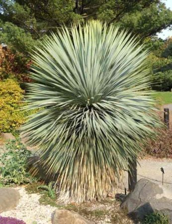 rostrate Beaked blue yucca