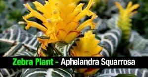 Zebra plant - Aphelandra