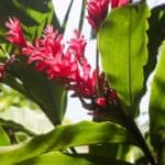 Zingiber Officinale Care: Learn Tips On Growing Ginger