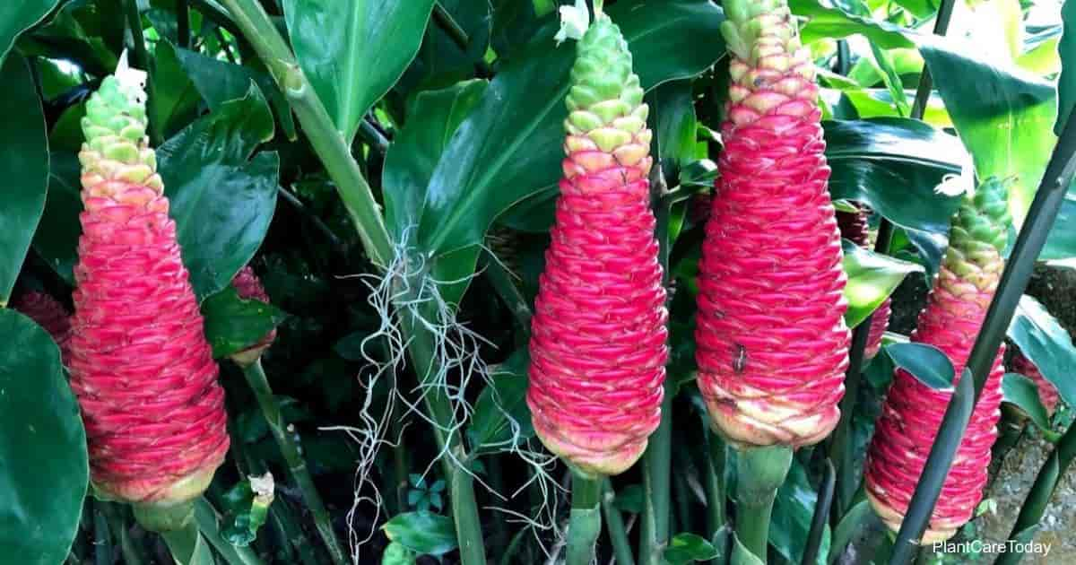 Unique blooms of the Shampoo Ginger (Zingiber zerumbet)