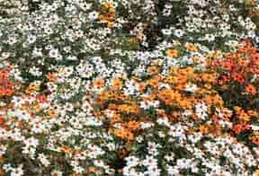 Cuidando plantas de Zinnia con muchos usos y abusos -