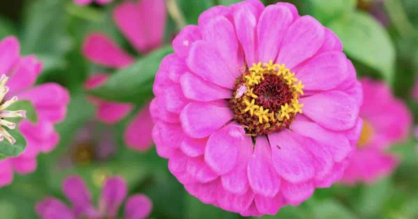 Zinnia elegans bloom