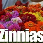 Zinnia Flowers: A Plant With Many Uses and Abuses