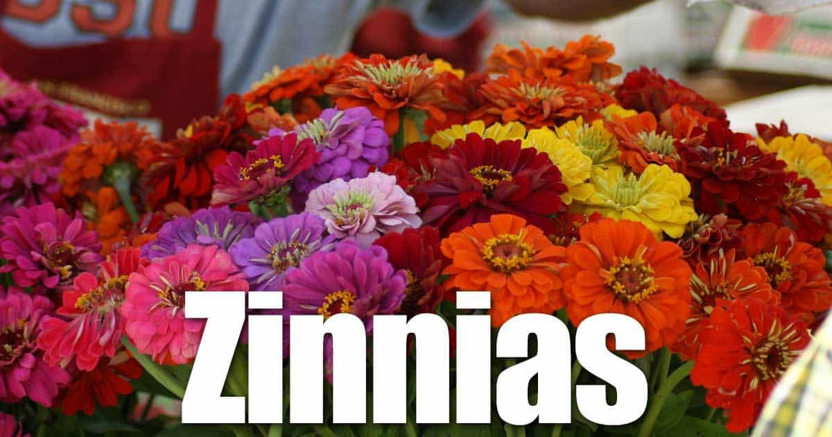 Annual zinnia flowers an must for every summer flower garden