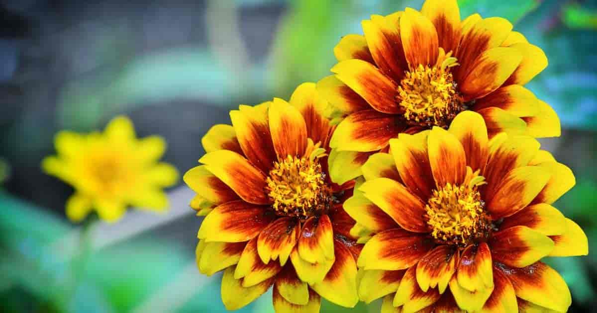 Bright flowers of the Mexican Zinnia (Zinnia haageana)