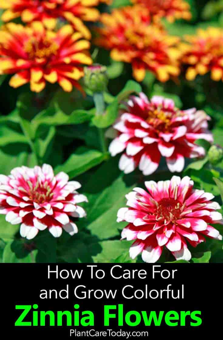 Zinnia Flowers: A Plant With Many Uses and Abuses -