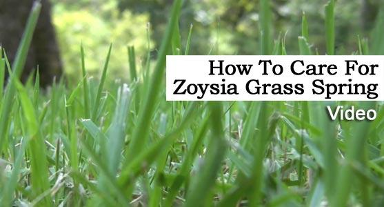 How To Care For Empire Zoysia Turf Grass Spring Video