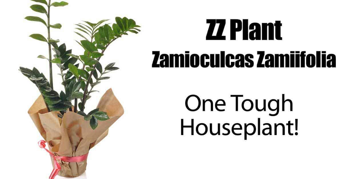 ZZ Plant – Zamioculcas Zamiifolia