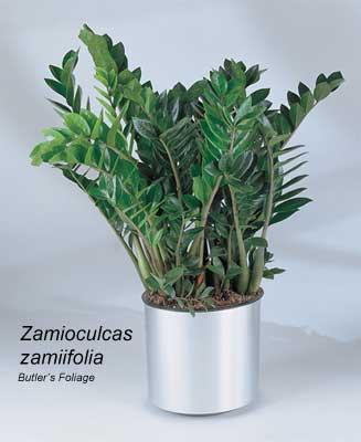 zz-plant-400-011813