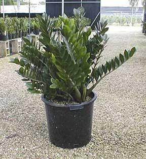 zz-plant-809