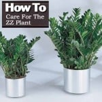 How To Care For The ZZ Plant – Zamioculcas Zamiifolia